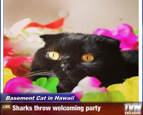 Basement Cat in Hawaii - Sharks throw welcoming party