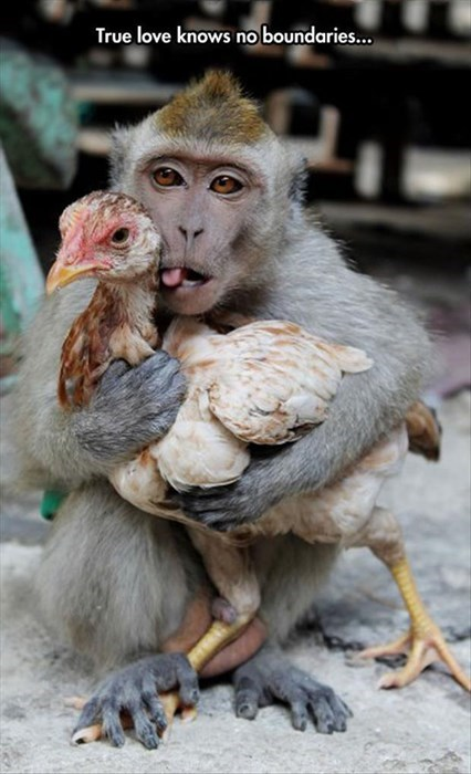 funny,chickens,monkeys
