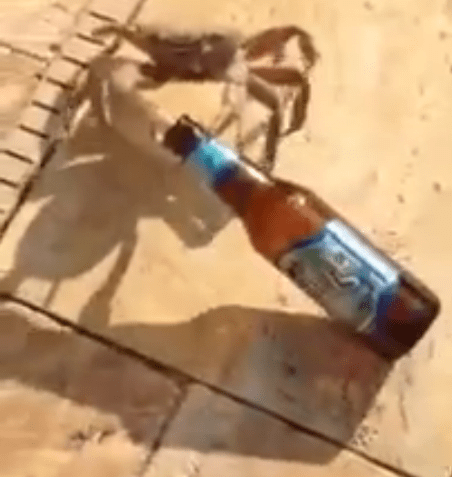 Damn Crabs Stealing All Your Beer!
