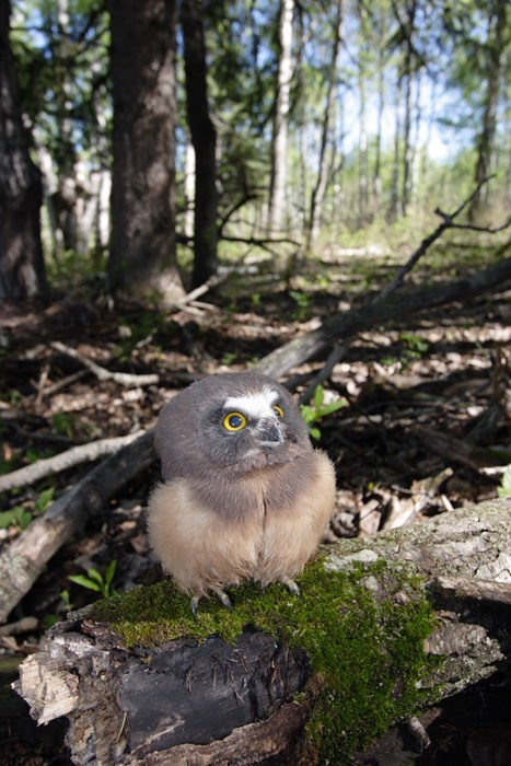 The Cutest Baby Owl You'll See Today!