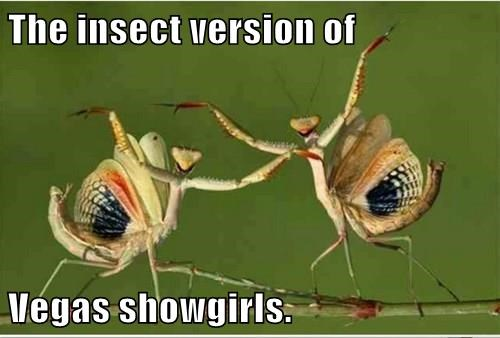 The insect version of  Vegas showgirls.