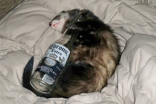 Ferrets, They Party Hard