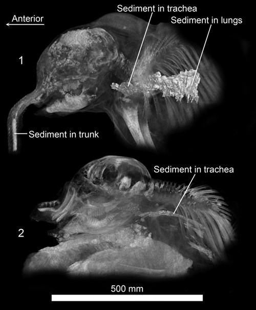 These Are Actual Scans of Woolly Mammoth Babies!