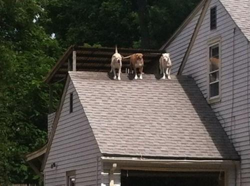 dogs,weird,roof