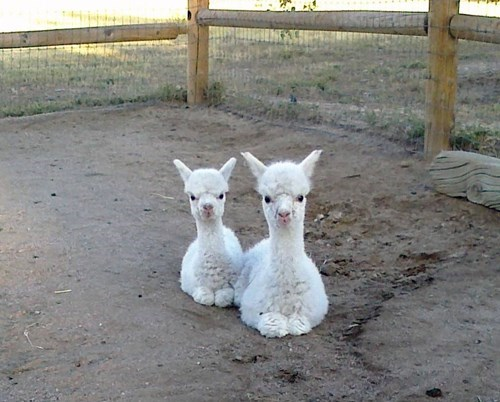 Baby Alpaca Squee Comes in Twos!