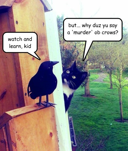 but... why duz yu say a 'murder' ob crows?