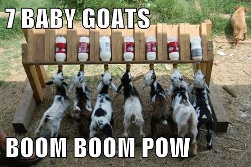 7 BABY GOATS   BOOM BOOM POW
