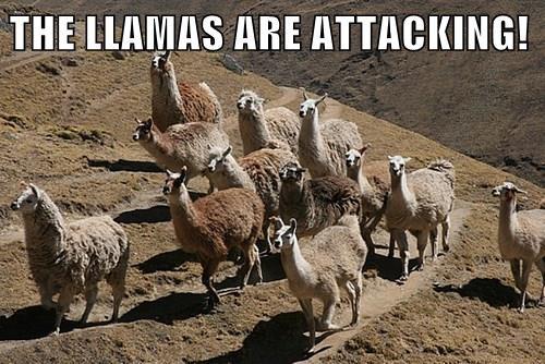 THE LLAMAS ARE ATTACKING!