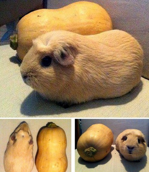 "They Named the Squash ""Guinea Pig"""