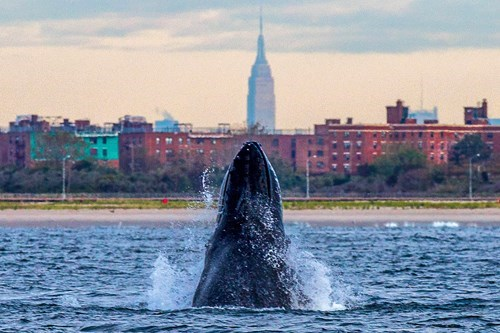 Pic of the Day: Humpback Whale Spotted Off the Coast of New York City