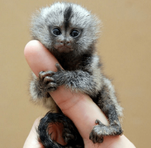 I'm Just a Little Finger Monkey
