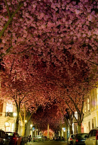 Cherry blossoms Germany...