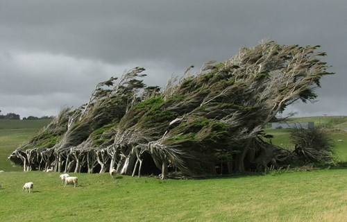 Windswept trees...
