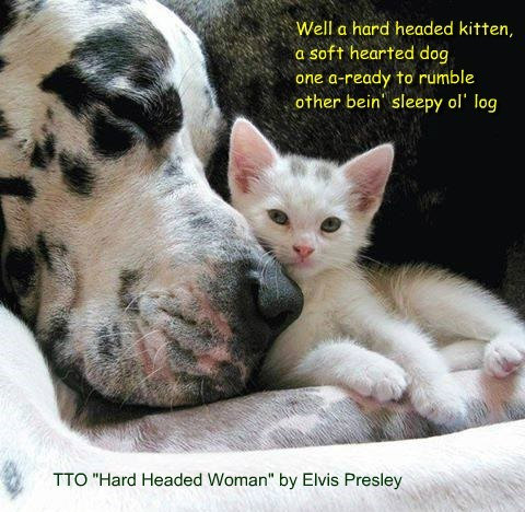"""Hard Headed Kitten"" (TTO ""Hard Headed Woman"" by Elvis Presley)"