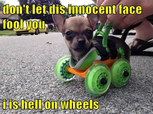 don't let dis innocent face fool you  i is hell on wheels