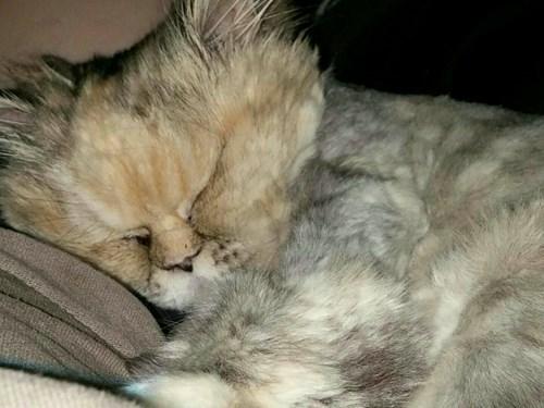 kitten,cute,napper