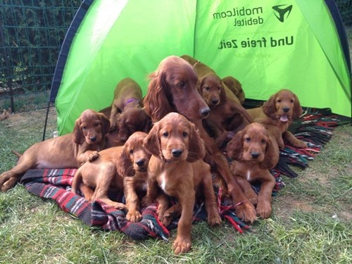 dogs,puppy,cute,family photo,parenting,irish setter