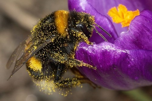 Bees Sense the Electric Fields of Flowers