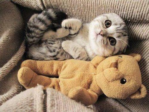 teddy bear,kitten,friends,cute,twins,Cats,squee