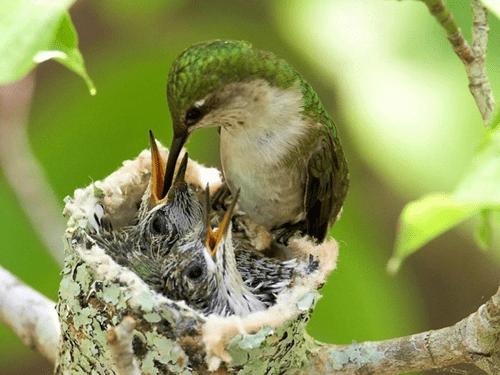 Hummingbird Babies Get Yummies