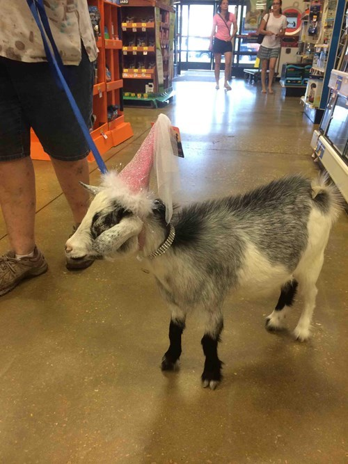 One Well-Dressed Goat