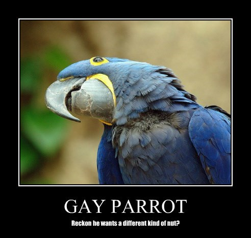 GAY PARROT