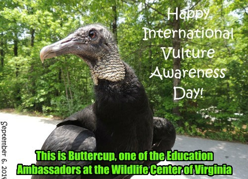 Buttercup is a black vulture and very charismatic