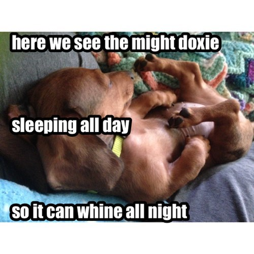 The might doxie
