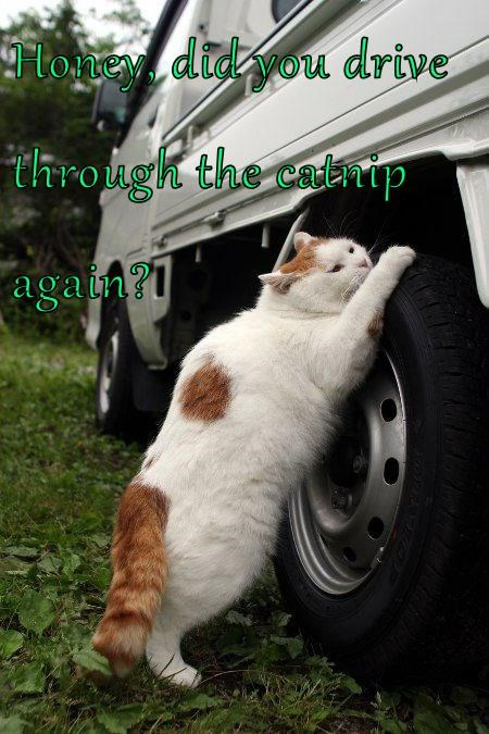 Honey, did you drive through the catnip again?