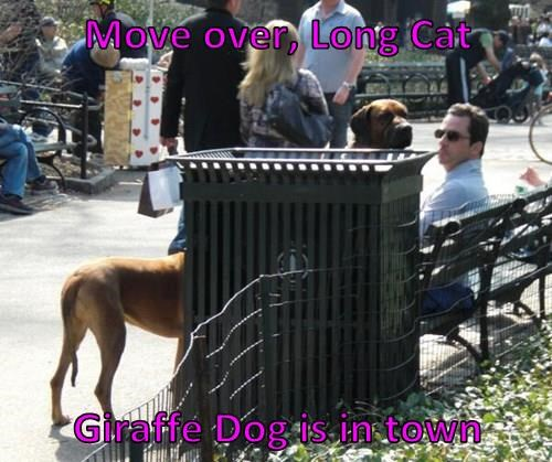 Move over, Long Cat  Giraffe Dog is in town