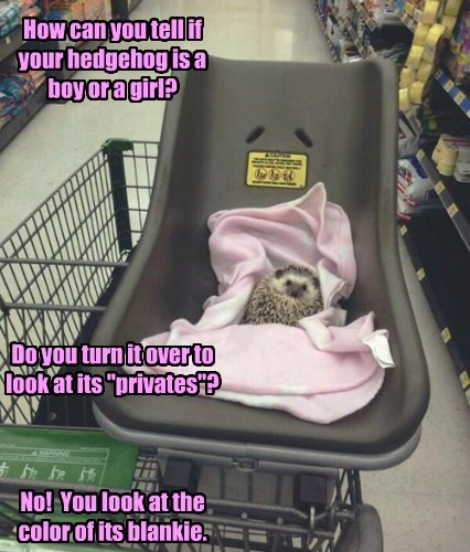 "How can you tell if your hedgehog is a boy or a girl?          Do you turn it over to look at its ""privates""?     No!  You look at the color of its blankie."