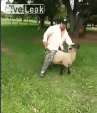 Sheep Don't Take Kindly to Drunks