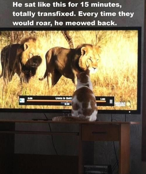 lions,Cats,wild