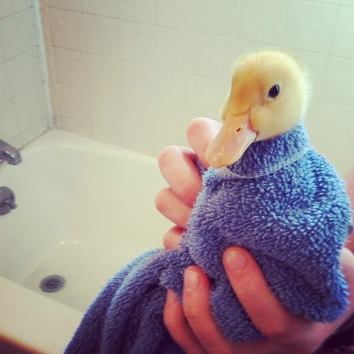 One Dry and Fluff For the Duckling Please