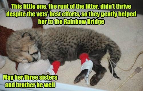 Little Girl Cheetah 9/19/14-9/23/14 RIP