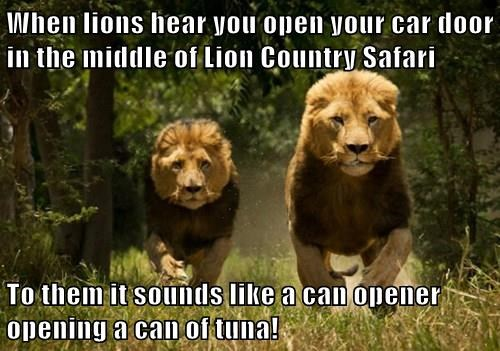 When lions hear you open your car door in the middle of Lion Country Safari  To them it sounds like a can opener opening a can of tuna!