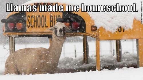 Llamas made me homeschool.