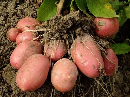 WTF Headline of the Day: Woman Grows a Potato in Her Snoo Snoo as DIY Birth Control