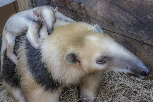 Meet Uruguay's First Zoo-Born Tamandua!
