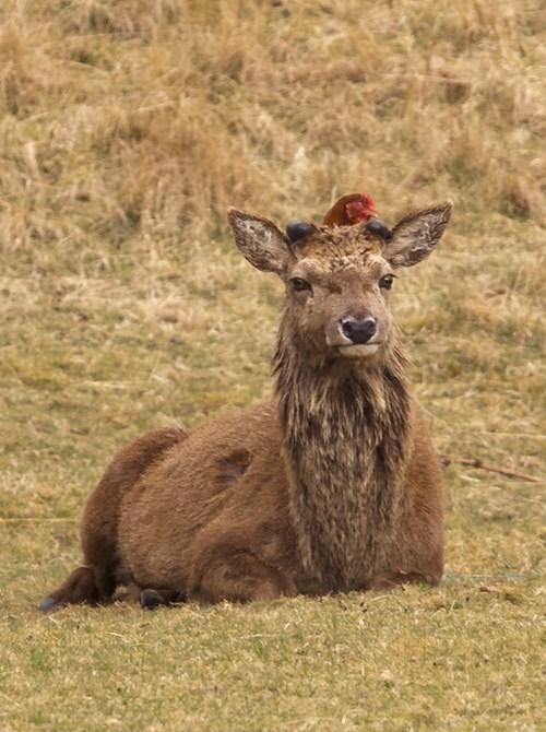 chicken,BFFs,Interspecies Love,deer