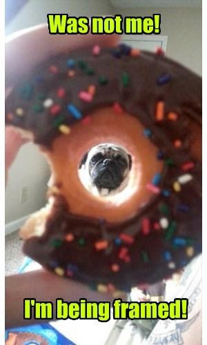 dogs,framed,pug,donut