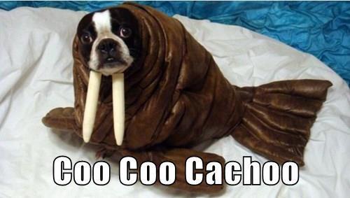 Coo Coo Cachoo
