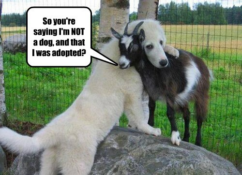 adopted,dogs,horns,goat
