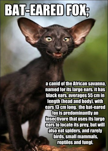 BAT-EARED FOX;