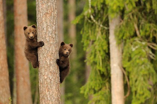 Just a Couple of Cubs Climbing a Tree
