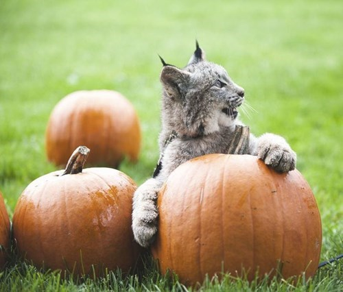 Jasper the Lynx Claim His Pumpkin