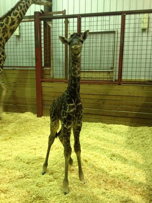This Giraffe Calf Was Born Squee-dorable