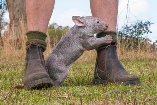 orphan,heartwarming,cute,Wombat
