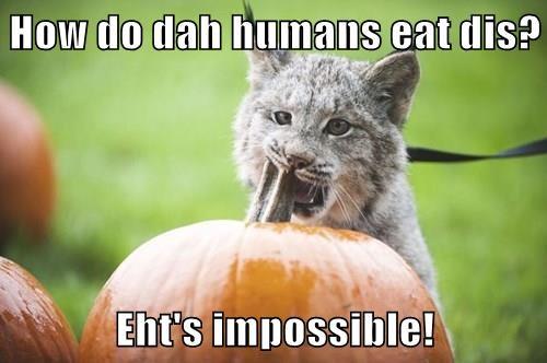 pumpkin pie,pumpkins,Cats,lynx