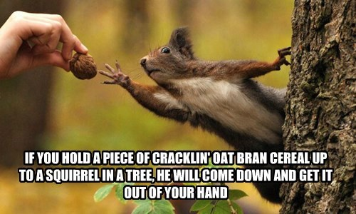 IF YOU HOLD A PIECE OF CRACKLIN' OAT BRAN CEREAL UP TO A SQUIRREL IN A TREE, HE WILL COME DOWN AND GET IT OUT OF YOUR HAND